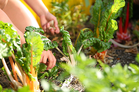 Volunteers harvest swiss chard in SVdP's Urban Farm