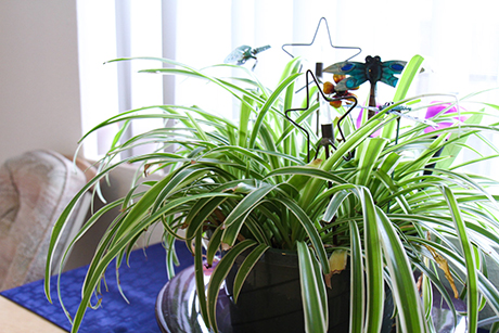 Cheryl's plant next to a large window in her apartment